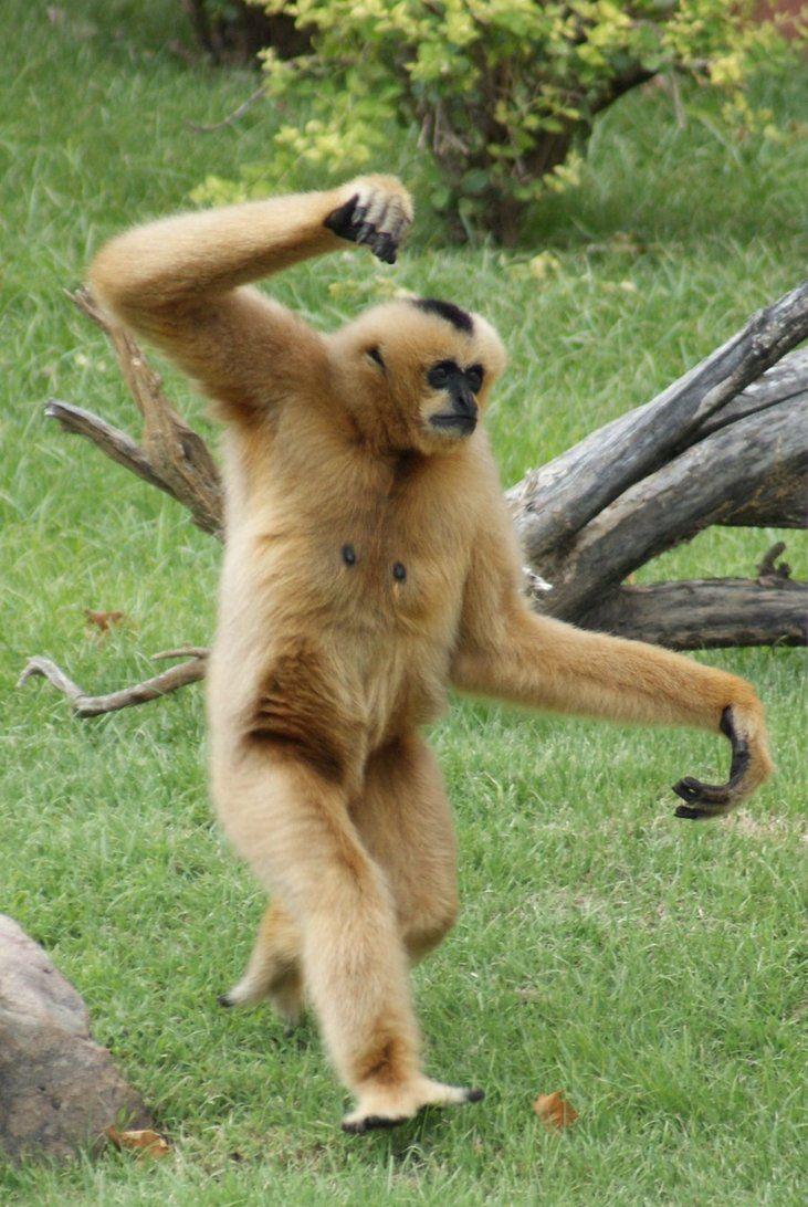 WALKING GIBBON | Gibbon, Animals, Memphis zoo