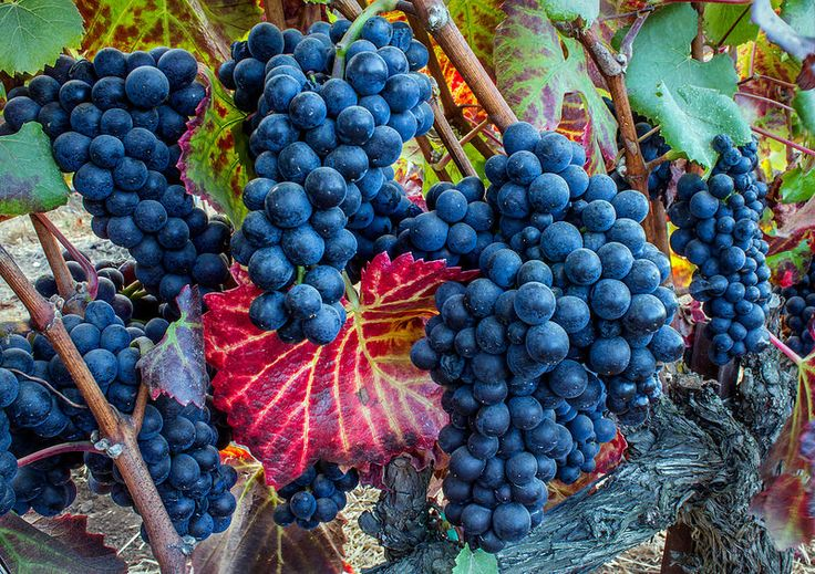 Late Wine Grapes, Santa Lucia Highlands