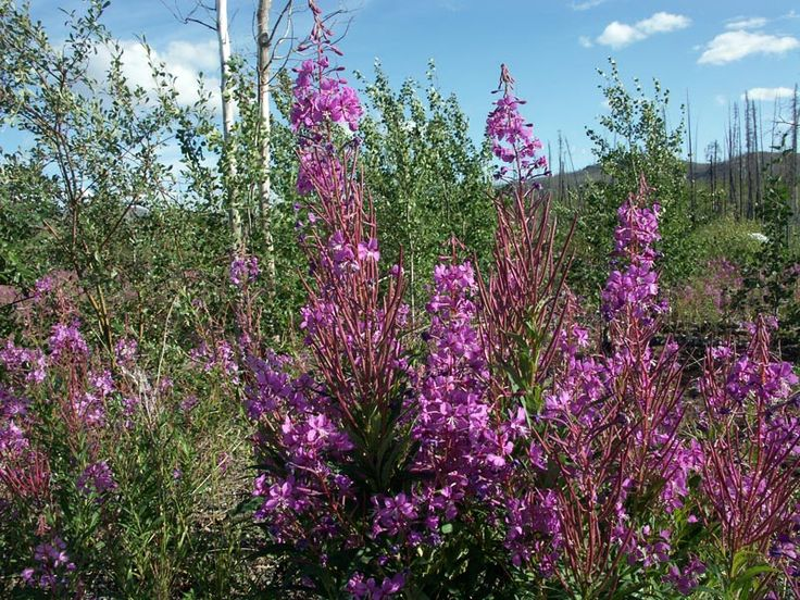 Yukon provincial flower - Fireweed