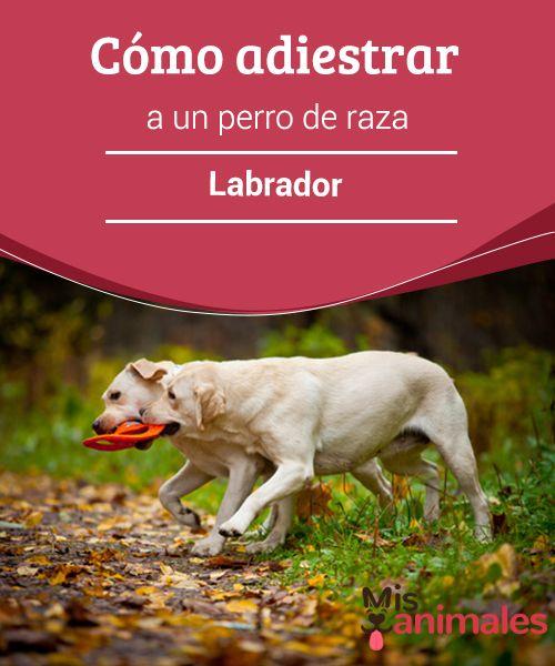 Cómo #adiestrar a un perro de raza #Labrador  Lo primero que debes tener en #cuenta al momento de iniciar el proceso de #entrenamiento de un perro es que no se entrena una raza específica, las técnicas de adiestramiento se #aplican a todos los canes en general.