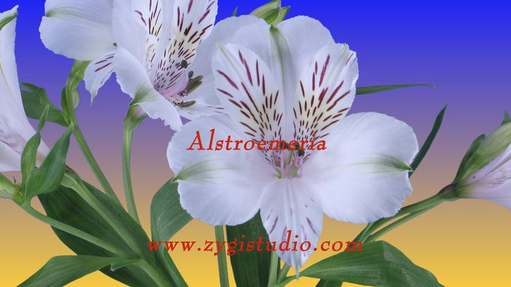 Timelapse of Opening White Alstroemeria Lily.