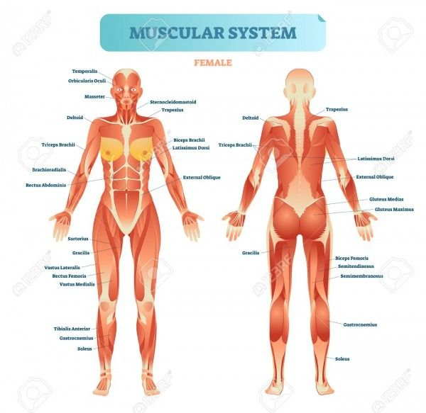 Muscular System Diagram Muscular System Human Muscular System Muscle System