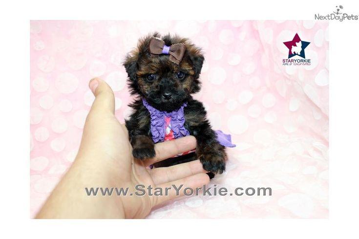 Meet Zara a cute Pomeranian puppy for sale for $2,400. Zara - Teacup Poodle Puppy In los Angeles