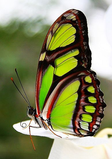 Lime Wing #Butterfly