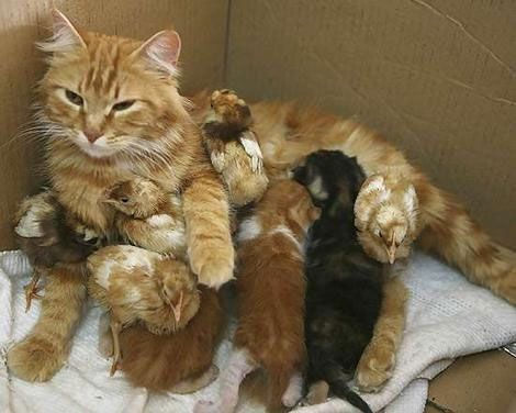 http://ift.tt/2pZof5y cat looks after chicks