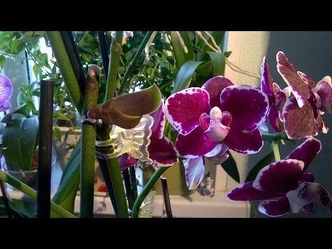 Как получить детку на орхидее Фаленопсис без гормонов  - YouTube