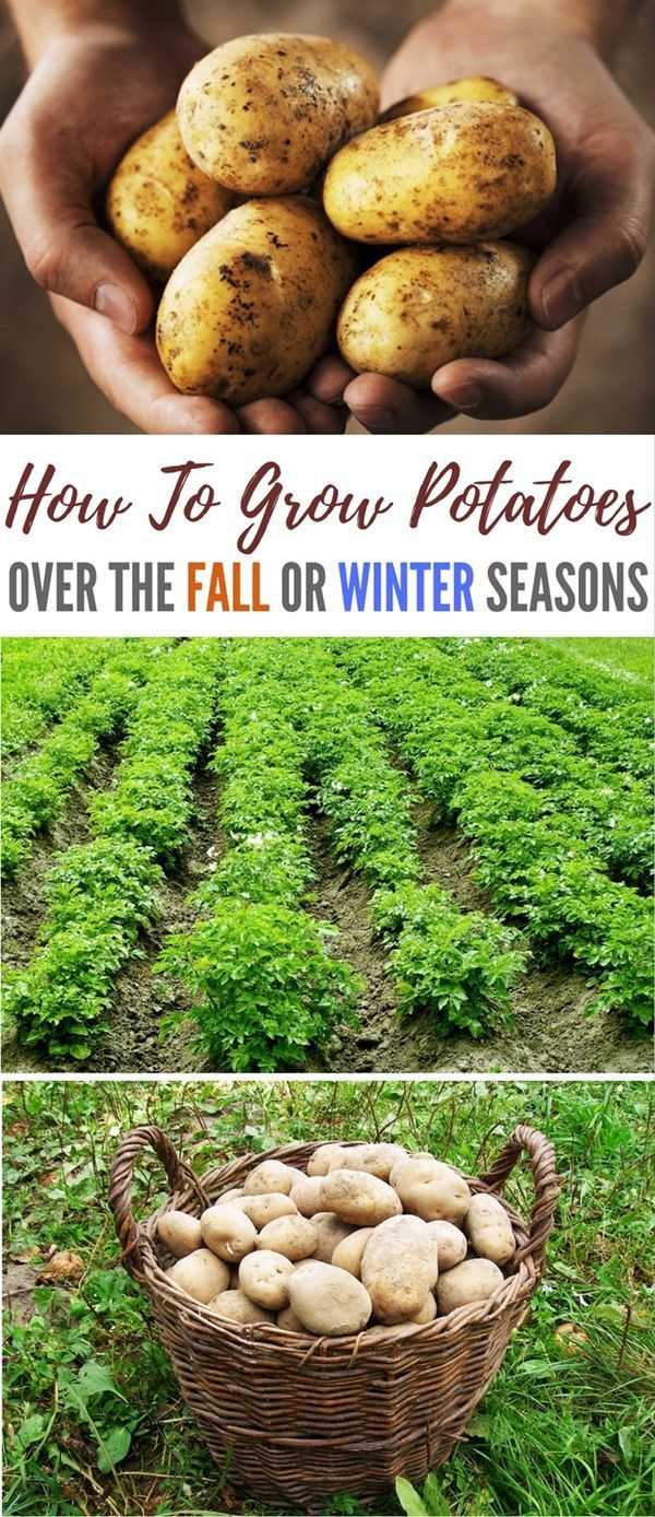 How To Grow Potatoes Over The Fall Or Winter Seasons - Did you know you can grow potatoes over winter? This is a great way to keep food costs down and be more self-sufficient.