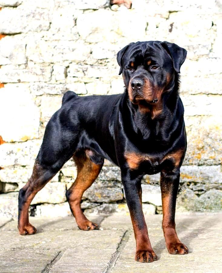 Mini Me Squeaky Dog Toy Rottweiler Rottie In 2020 Rottweiler