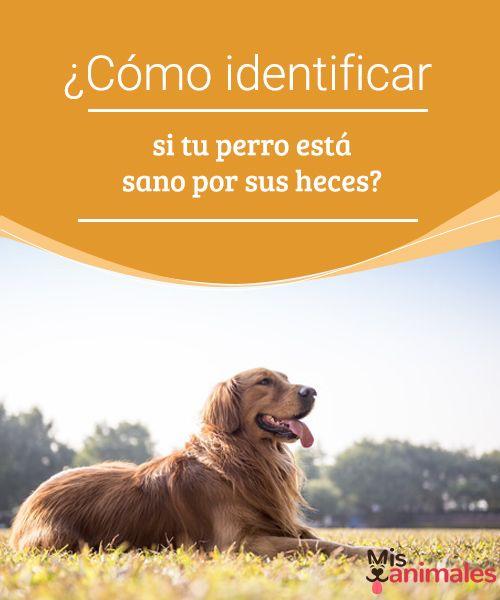 ¿Cómo identificar si tu perro está sano por sus heces? Te contamos cómo a través de la observación de su materia fecal puedes identificar si tu perro está sano y está ingiriendo el alimento adecuado. #salud #perro #heces #sano