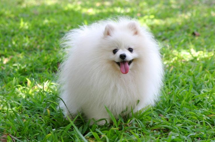 April 2007. My older sister got a Toy Pom dog for her birthday. I loved it so much because it reminded me of a fluffy teddy bear. We named him Cosmo.