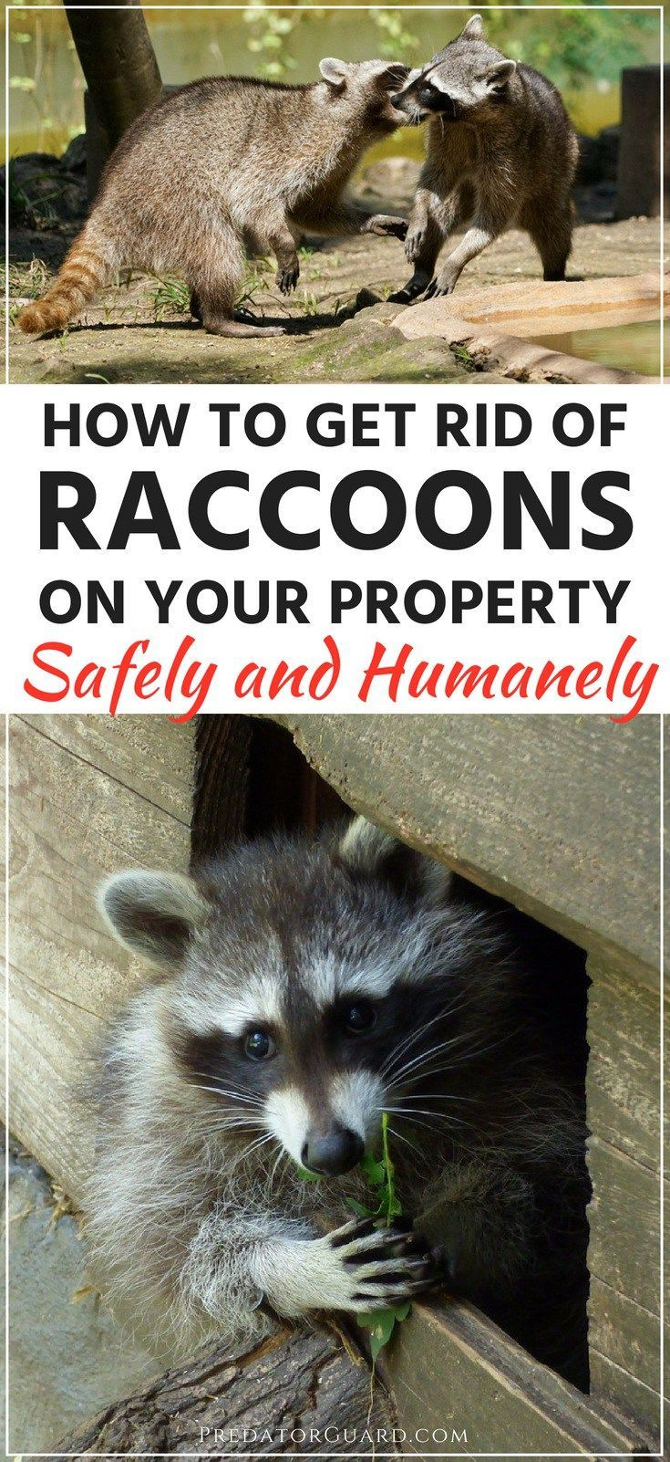 How To Get Rid Of Raccoons Getting Rid Of Raccoons Raccoon
