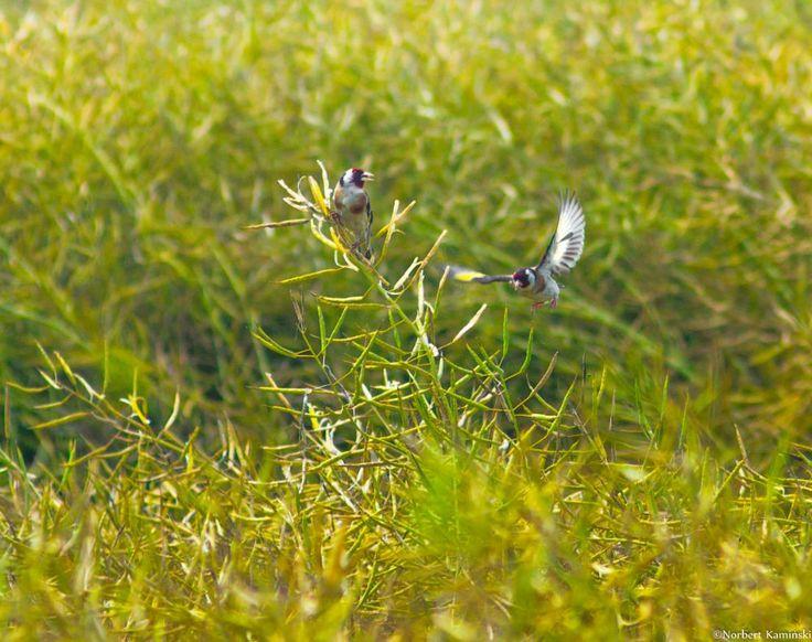 European goldfinch by Norbert Kamiński