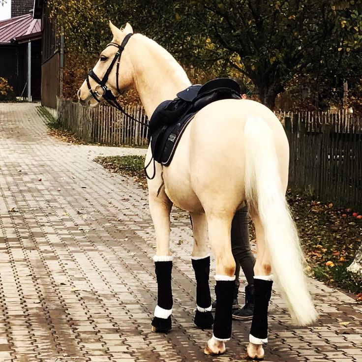 BEAUTIFUL palomino horse. The black tack goes so well with the coat