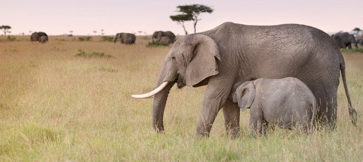 With #KenyaSafariToursAndHolidays you can see the awosome Migration action in the legendary Masai Mara. For more check out @ http://www.kenya-safaris.co