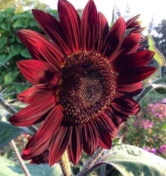 Moulin Rouge Sunflower Seed Red Sunflowers by mountainlilyfarm