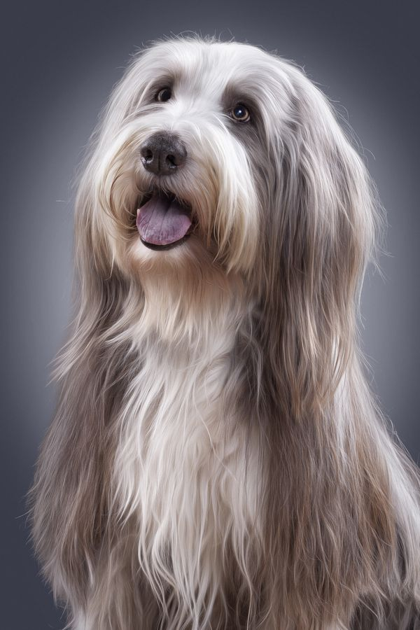 500px / Bearded Collie by Sven Engel-Don't know this Beardie but what a beauty!!!