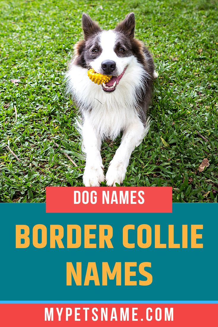 Border Collies Are Renowned To Be One Of The Most Intelligent Dogs