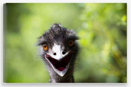 Canvas Wall Art – Hi There Emu!