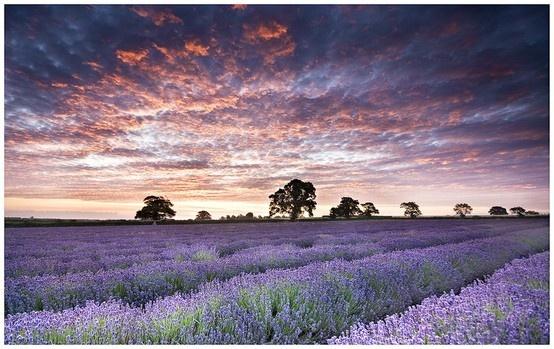 Lavender fields...lavender sky...beautiful!