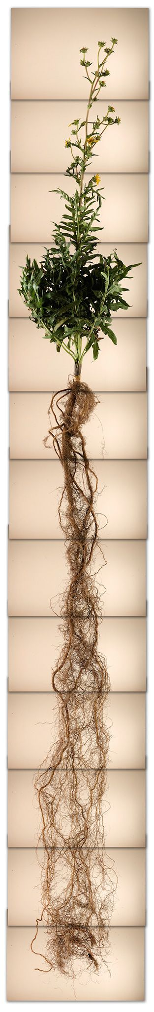 Digging Deep Reveals the Hidden World of Roots - Vertical panorama of a compass plant and its long root structure