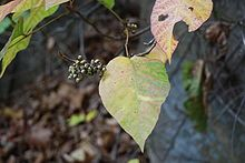 Poison Ivy; Toxicodendron radicans - Wikipedia, the free encyclopedia