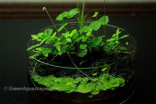 Wabi - kusa I - Plant Physiology  Emersed Culture - Aquatic Plant Central