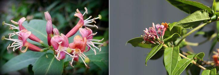 Lonicera als klimplant kent iedereen, het is een sterke, gemakkelijke plant die zich al rankend nadrukkelijk onderscheidt van de struikkamperfoelie. Er zijn bladhoudende en bladverliezende Kamperfoelies. In onze streken zijn alle klimmers nagenoeg bladverliezend. Een gekende, sterk woekerende bladhoudende soort is Lonicera henryi.