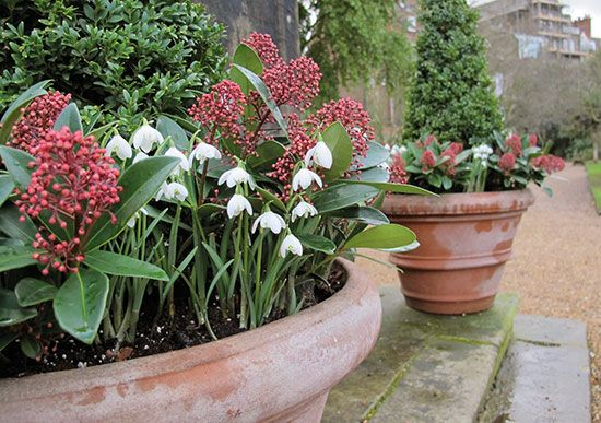 Double snowdrops with common box and skimmia. #plantlover