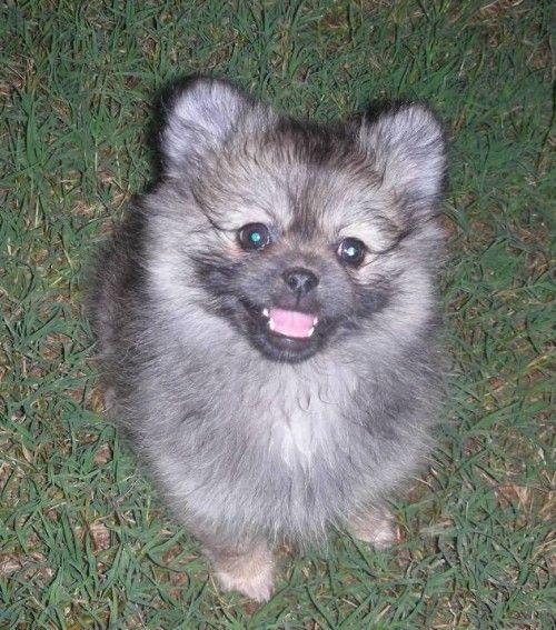 As 25 melhores ideias de Pomeranian rescue no Pinterest ...