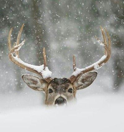 Deer in the snow #Antlers
