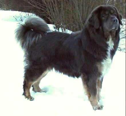 Tibetin mastiff... i soooo want one!