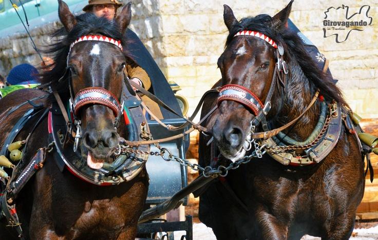 Altra bella immagine dei due cavalli Norici  Segui la puntata   VAL DI FASSA, LA MAGIA DELLE DOLOMITI D'INVERNO  16 FEBBRAIO 2013 su http://www.girovagandointrentino.it/inonda_m.html