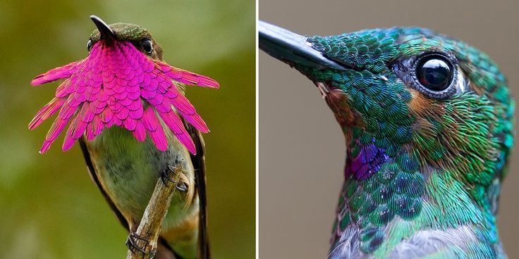 impresionantes acercamientos de colibríes revelan su inmensa belleza
