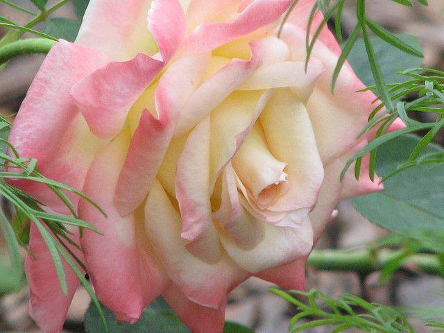 Rose Diana Princess Of Wales A Single Rose