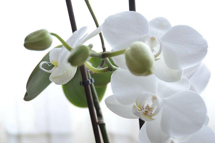 Las 25 mejores ideas sobre como cuidar una orquidea en - Como cuidar una orquidea en casa ...