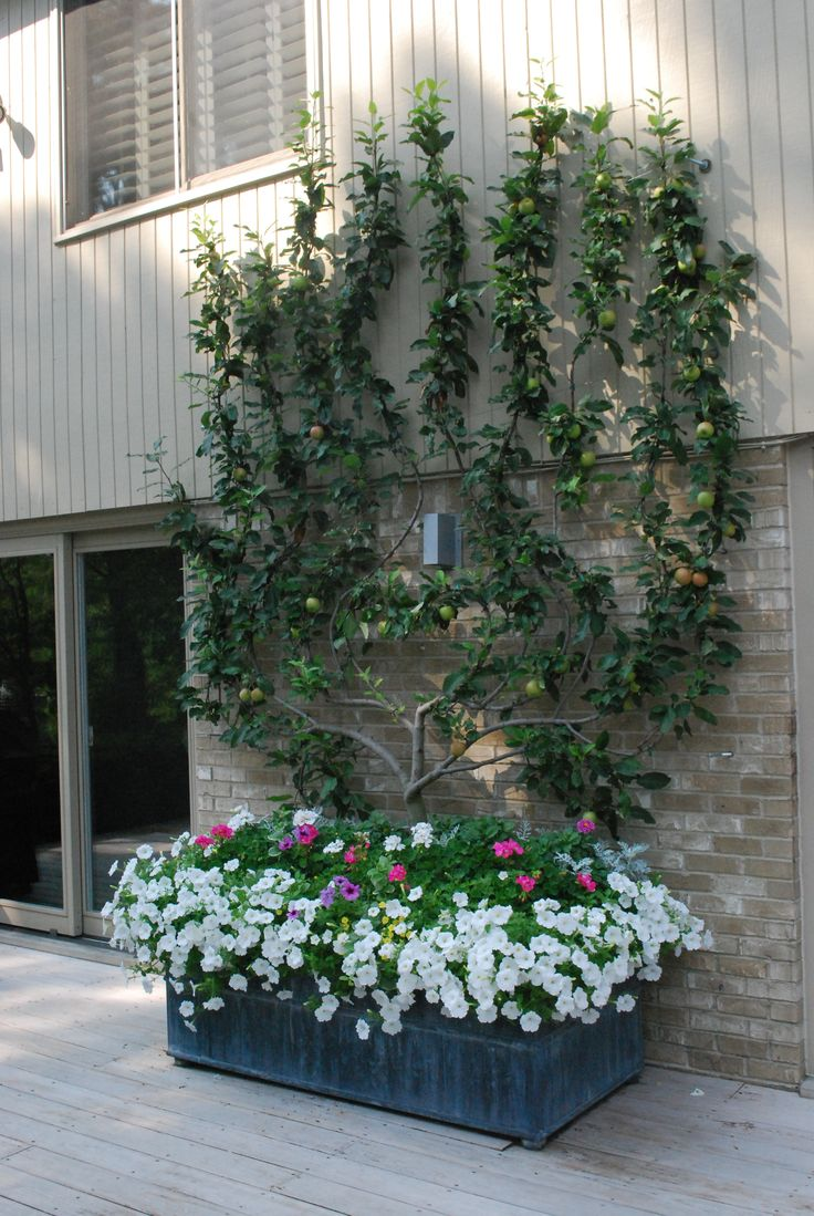 Espaliered apple tree is idea for small-spaced edible gardens.: Apple Trees, White Petunias, Garden Ideas, Edible Gardens, Fruit Trees, Apples, Espaliered Apple Tree Jpg, Apple Espalier, Container Gardening