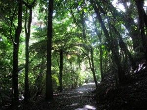 The paths in St Johns Bush are shaded by native New Zealand ferns