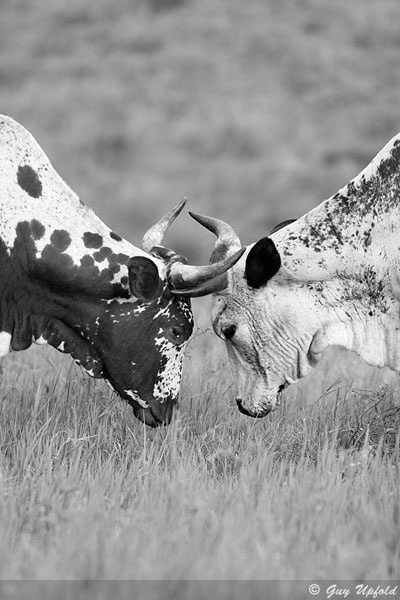 "Guy Upfold, ""Locked horns"", Nguni Cattle South Africa"