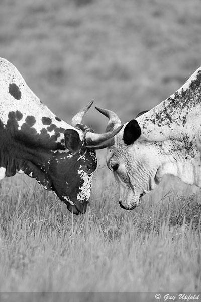 "Guy Upfold, ""Locked horns"", Nguni Cattle South Africa"