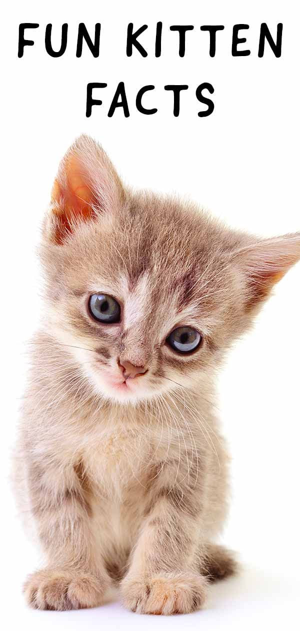 Kitten Facts Fun Facts About Baby Cats Baby Cats Funny Cat