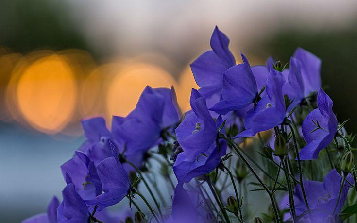 фокус, лепестки, блики, синие, колокольчики, цветы