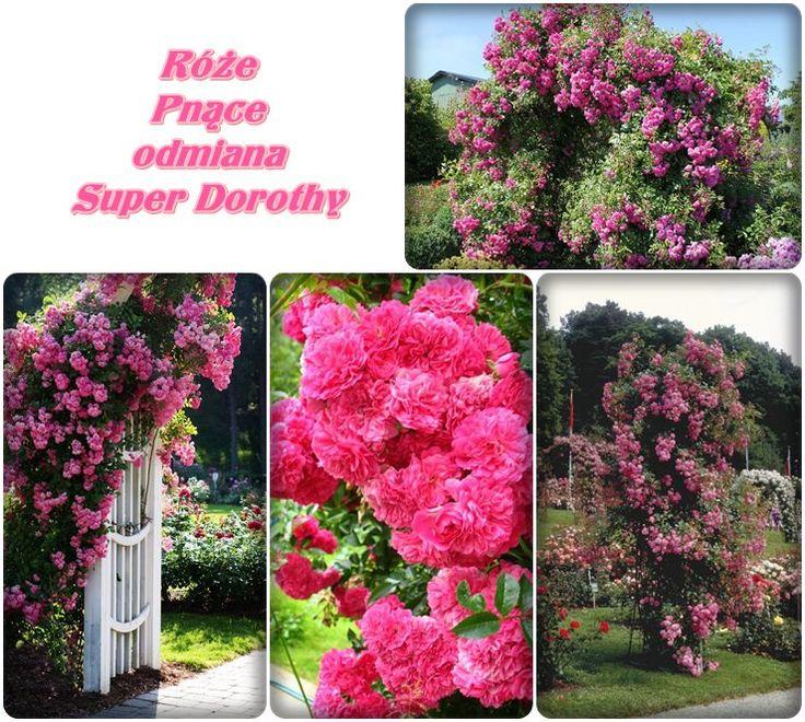 Super Dorothy róże pnące