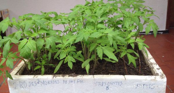 Tomates listos para trasplantar