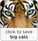 Free Clicks Save Big Cats like the Siberian Tiger: Your clicks generates donations to the Wildlife Conservation Society to protect the habitats for endagered big cats.    The Siberian tiger, also called Amur tiger. The wild population in 2010 was estimated between 400 - 500.
