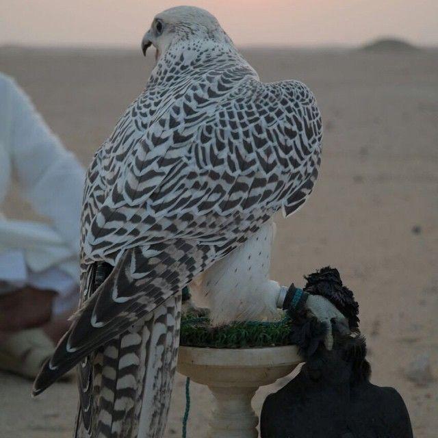 Gyrfalcon Peregrine Falconry Hunting Mydubai Hawking Dubai Uae Albino Animals Falcon Hawk Falconry