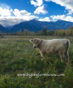 Las Vegas 5-0 to Raising Grass Fed Beef Cattle