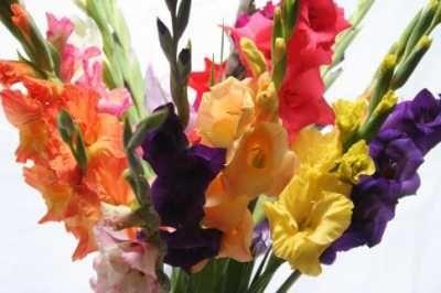 Kleurrijke gladiolen