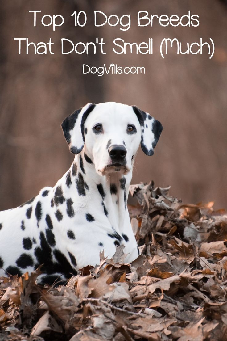 Top 10 Dog Breeds That Don T Smell Much Dog Breeds Top 10 Dog