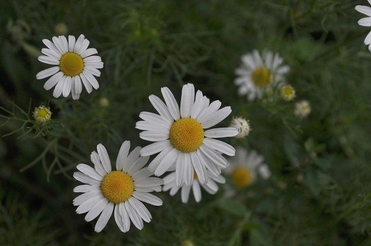 chamomile by mircea.fotograf.az
