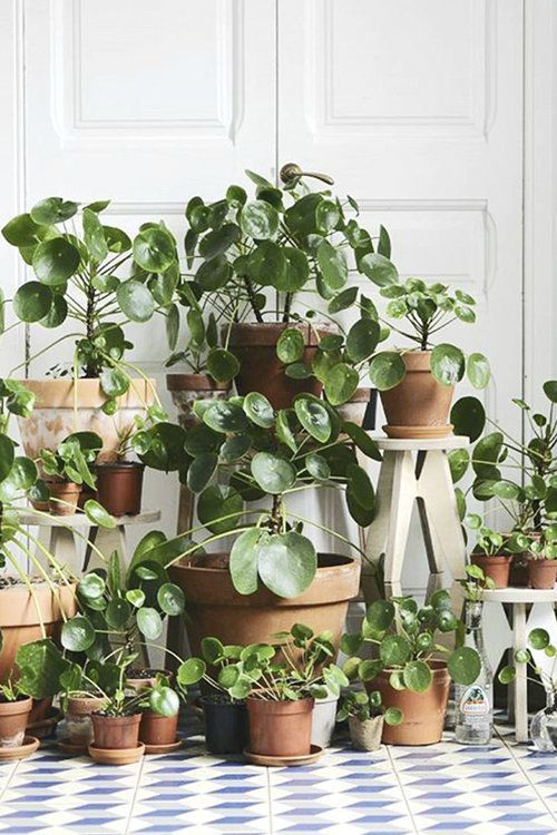 #peperomioides #Piléa Plants We Love: Pilea Peperomioides, The Chinese Mo… – Gaten Diy